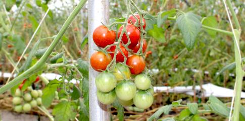 松下農園トマト